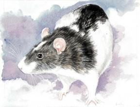 Art by Drusilla Kehl The Illustrated Rat