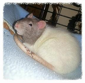 east tenn rats
