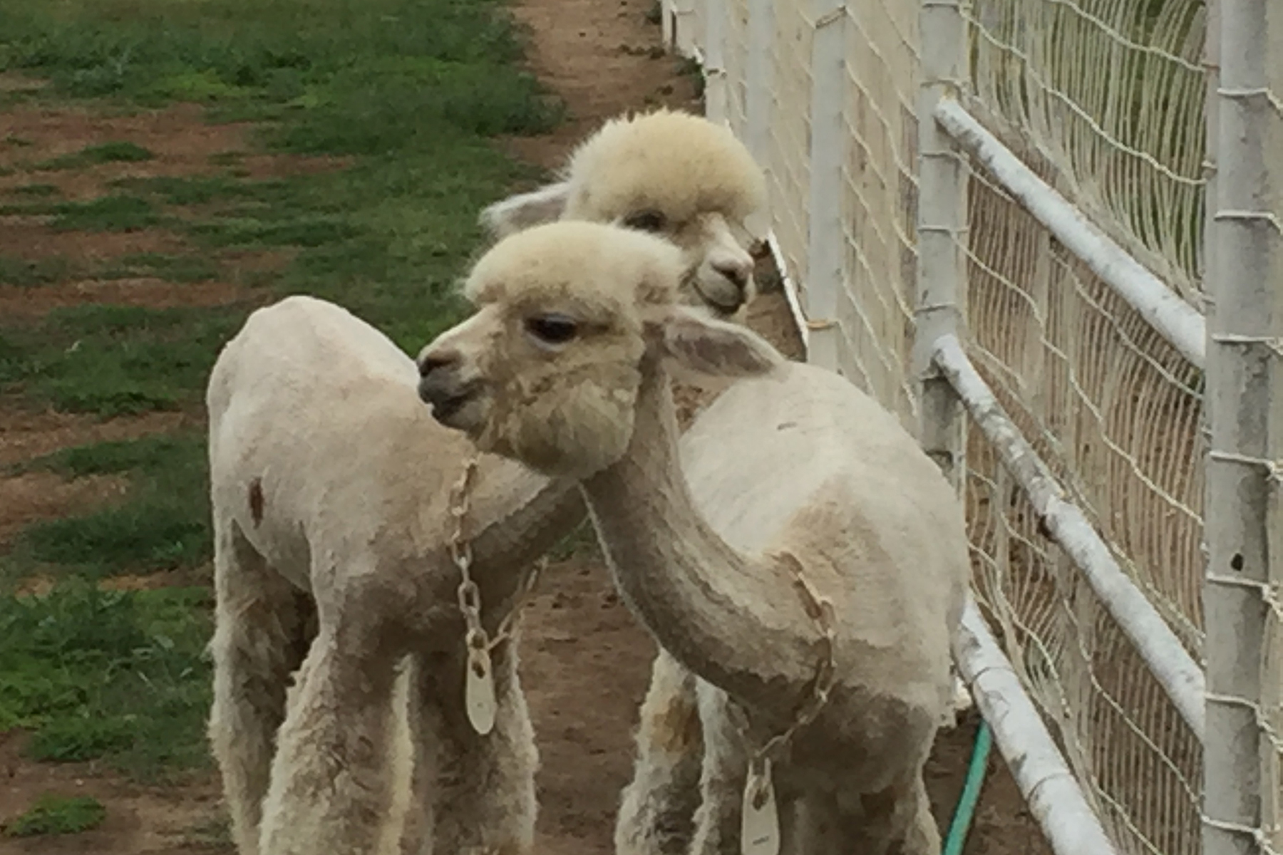 Triple J Alpaca Farm | Kings River Life Magazine