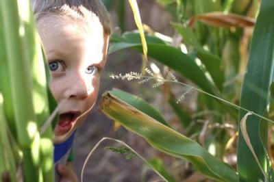 Pumpkin Grove Corn Maze