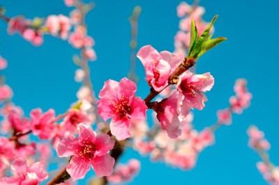 blossom trail