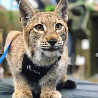 fresno wildlife service rescued lynx