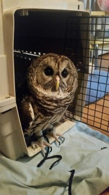Fresno Wildlife Service rescued owl