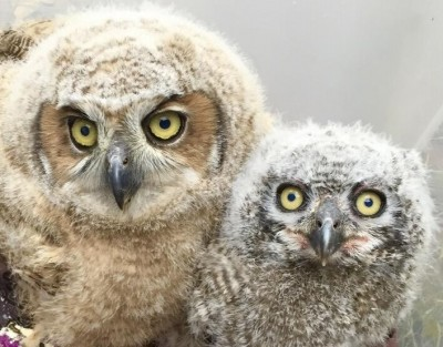 fresno wildlife service pair of rescued owls