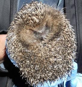 Hedgehog at St. Tiggywinkles
