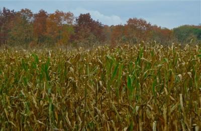 corn #1