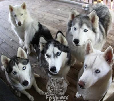 five sibs husky