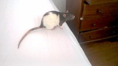 rattie rats
