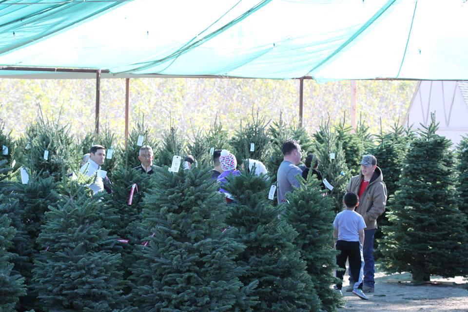 Kringles For Christmas.Kay Kringle S Christmas Trees Kings River Life Magazine