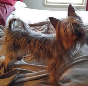 Yorkie rescue dog