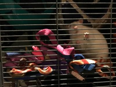 rescue rat